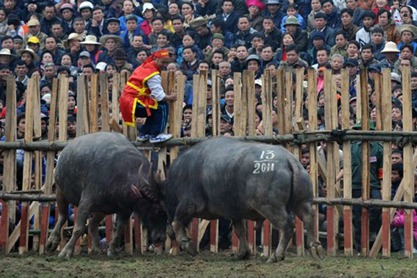 Many audiences watchign buffalo fighting