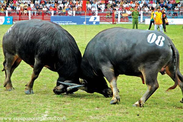 Do Sơn Buffalo Fighting Festival